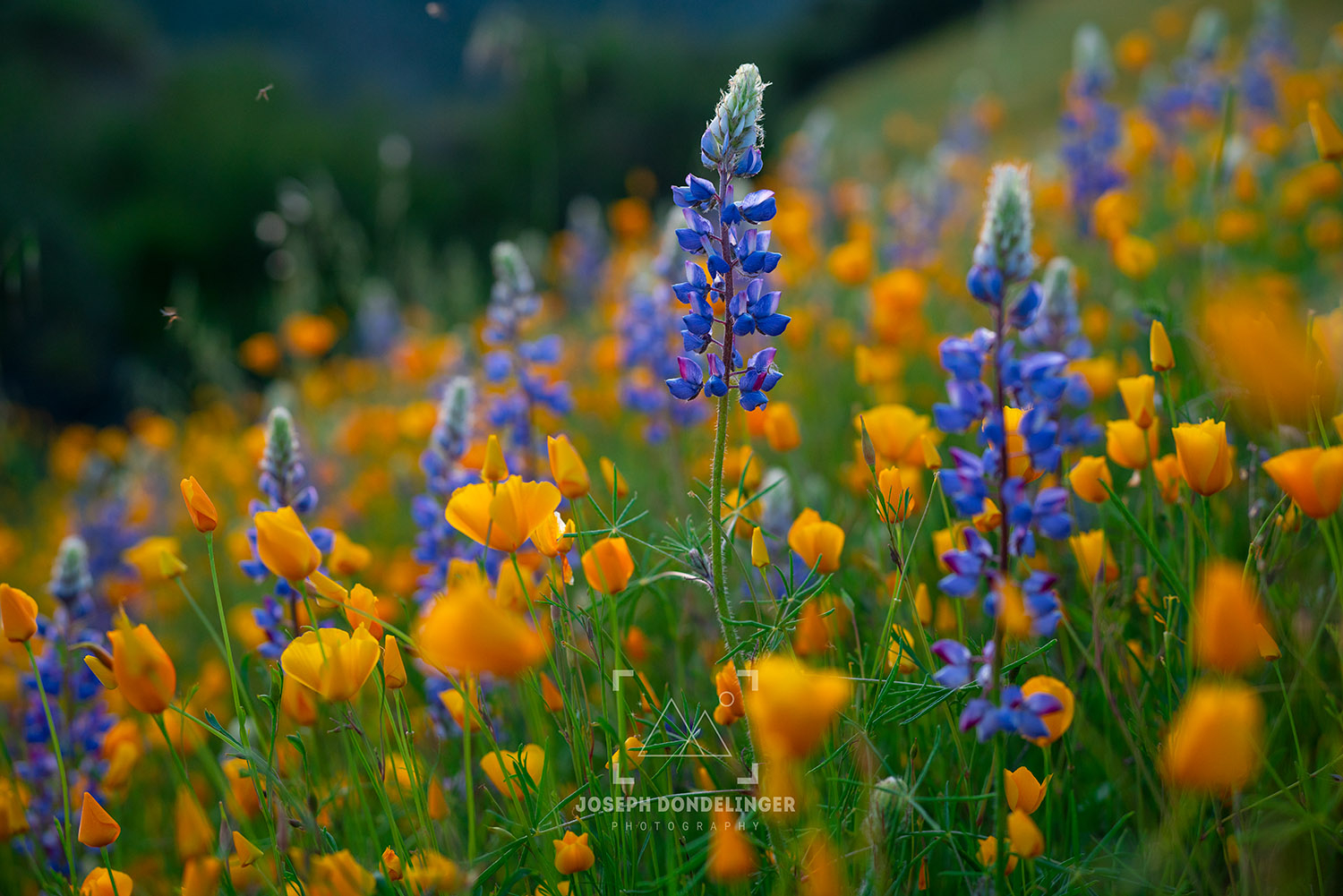 Incredible display of lupine and poppies growing above the American River